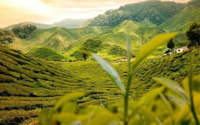 a view of tea gardens