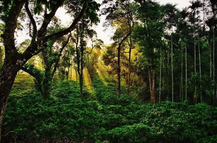 Coorg coffee plantations