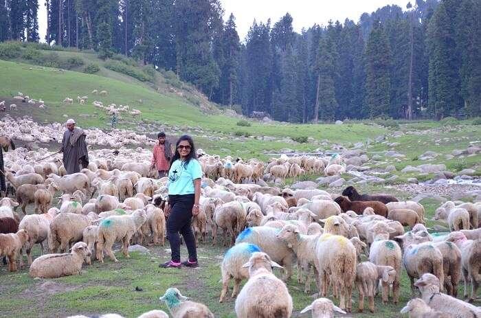 Doodhpathri sheep