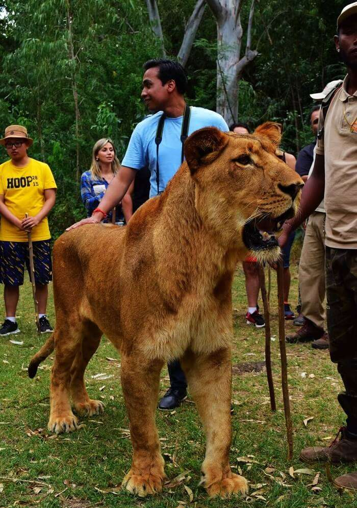 walking with lions in Mauritius