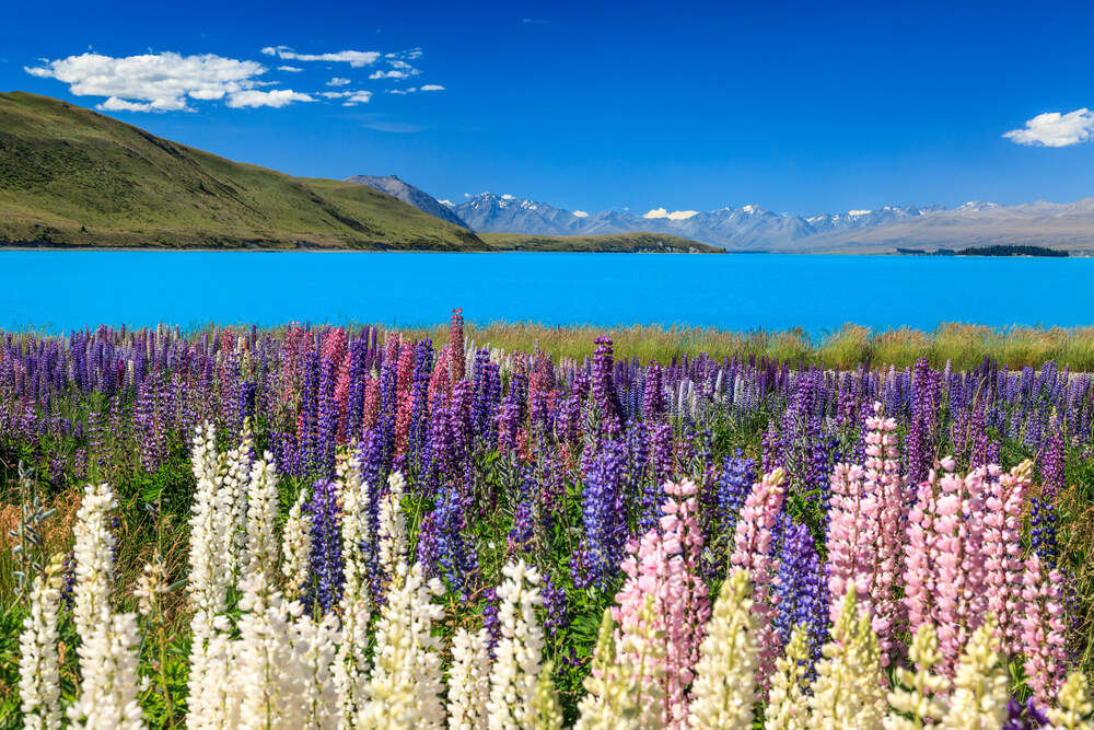 Lake Pukaki surrounded by colourful flowers