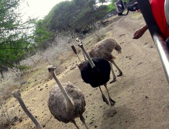 ostrich in casela nature park