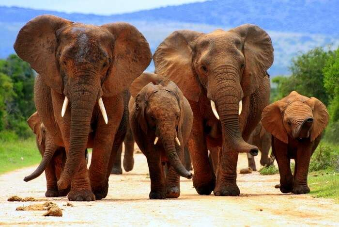 elephants at Addo Elephant National Park in Africa