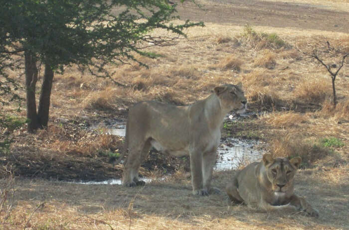 Go on a short safari at Gir Interpretation Center, Devalia