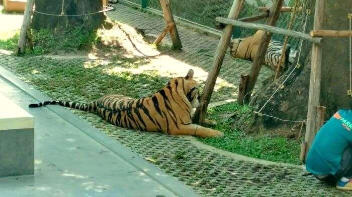 tiger park in pattaya