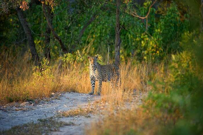 spot leopards at Sabi Sands Reserve