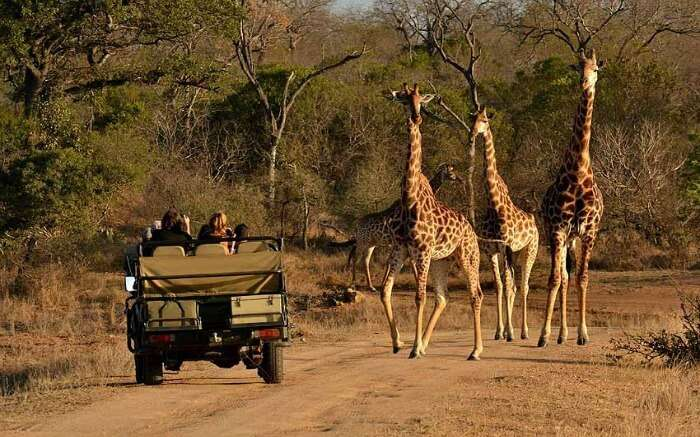 Travelers taking up jeep safari in Thornybush Game Reserve in Kruger National Park