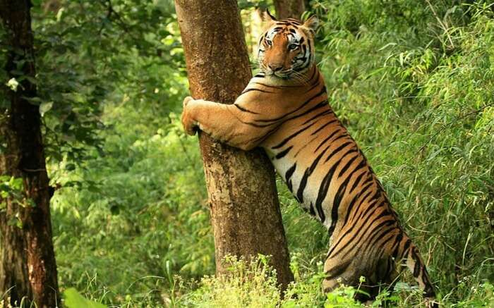 Tiger posing for a photograph in Kanha National Park