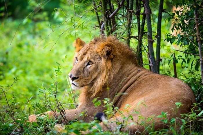 Asiatic lion at gir