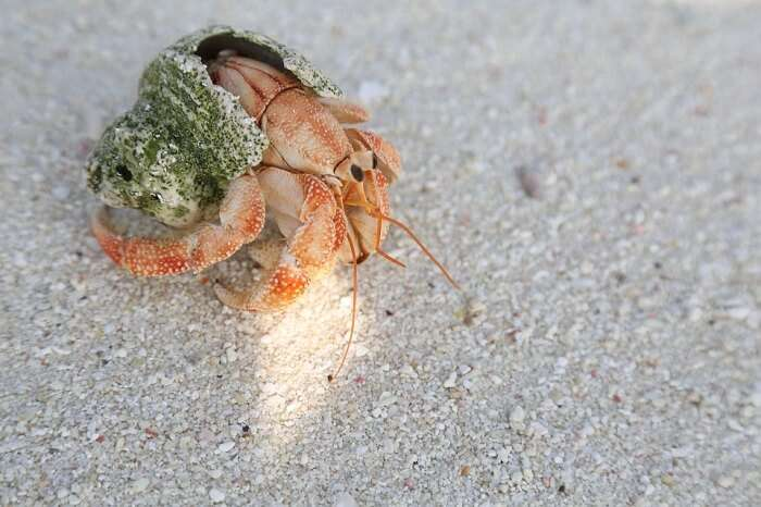 A crab on the sandy beach of Bangaram Island