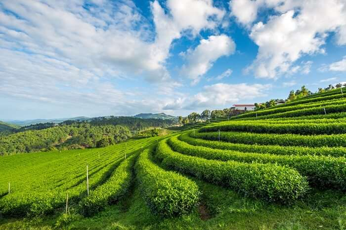visit temi tea garden