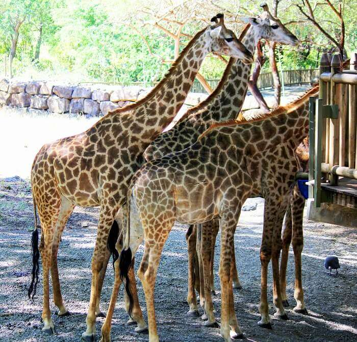 Giraffes in Casela Nature Park, Mauritius