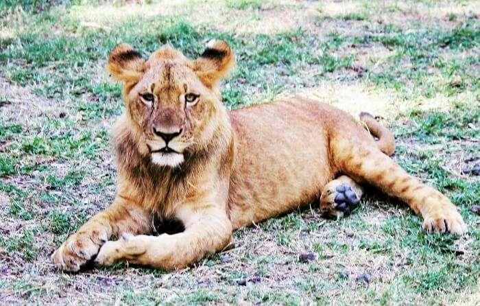 Mauritius Lion Walking