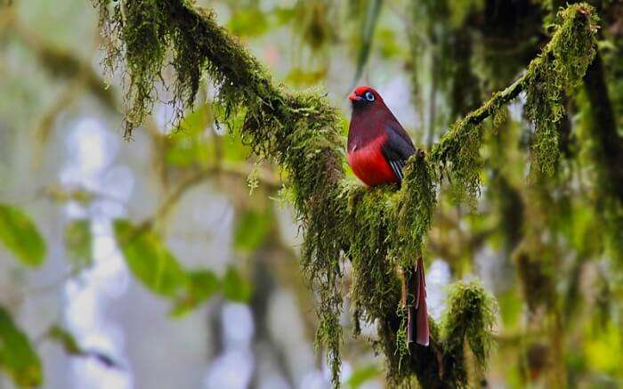 A Ward's Trogon as spotted in Eaglenest Wildlife Sanctuary in Arunachal Pradesh