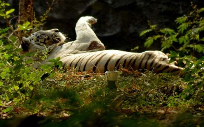 A white tiger playing in the Rajiv Gandhi National Park area in Pune