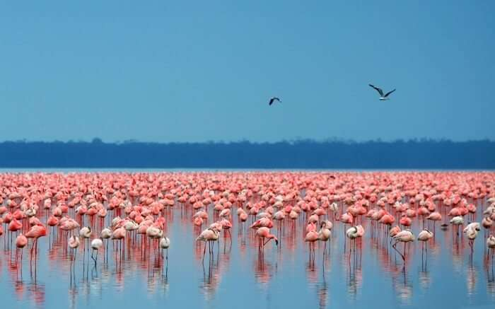 Beautiful flamingos in Lake Nakuru in Kenya