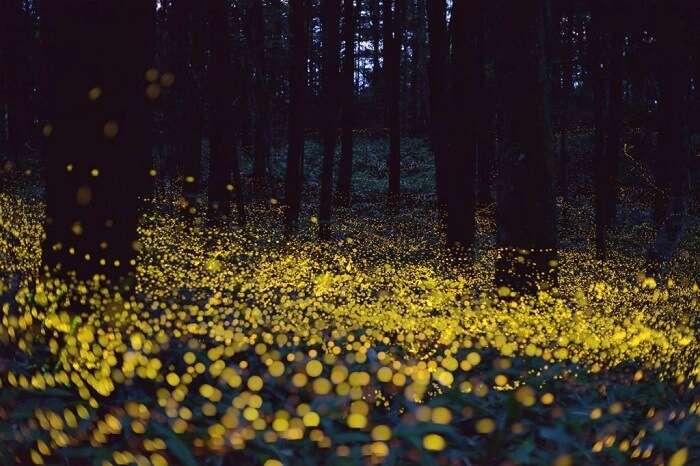 Catch fireflies in Bhorgiri