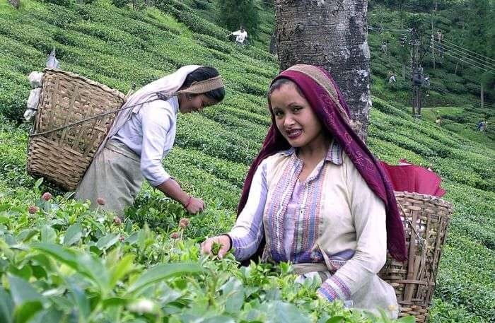 Darjeeling tea farm