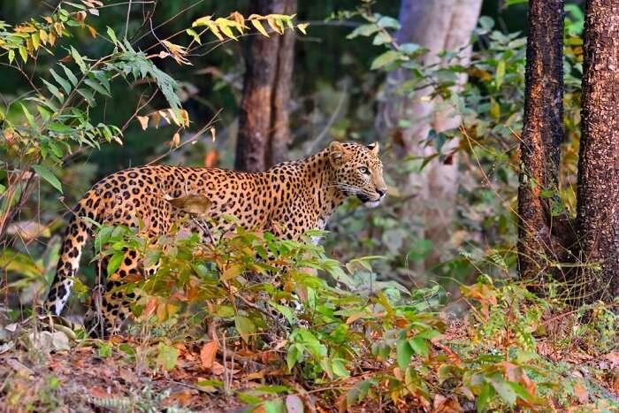 spot leopards in bhimashankar