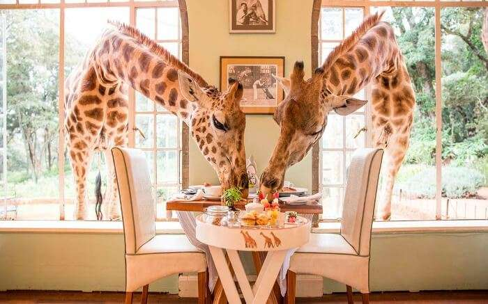 Giraffes having breakfast in Giraffe Manor in Kenya