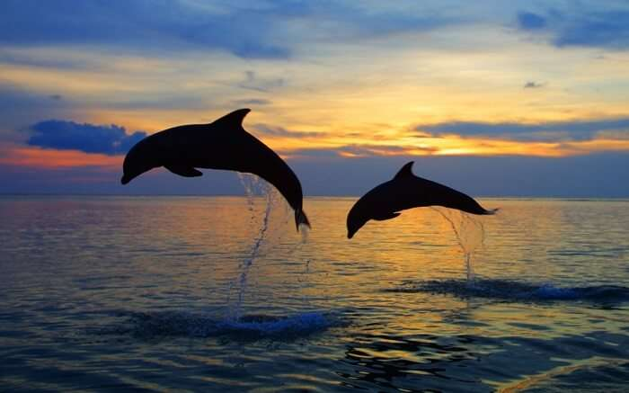 Two dolphins diving in water during sunset
