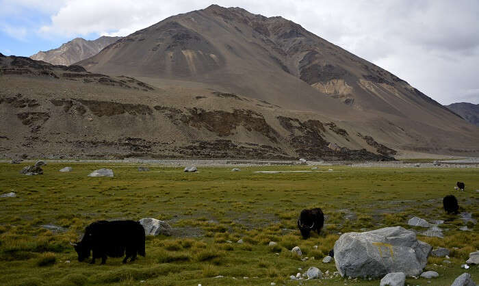 Yaks in ladakh
