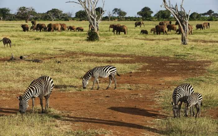 Zebras and elephants in Tsavo East Park in Kenya