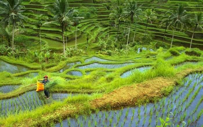 bali guy standing in paddy field holding grass