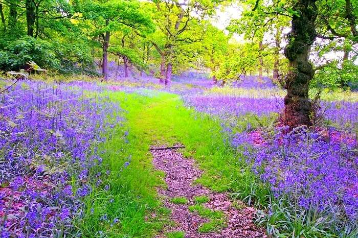 Bluebells Forest Scotland