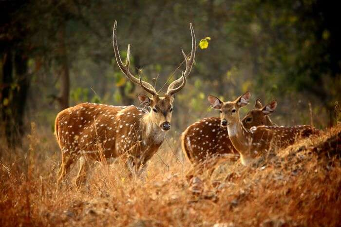 deers in tiger reserve