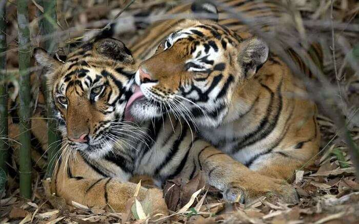 A mother tiger loving her baby in Pench National Park
