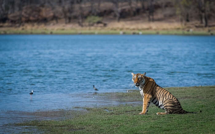 A tiger sitting beside a water hole in Pench National Park