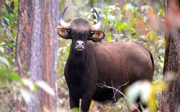 A wild buffalo spotted in Nagzira National Park