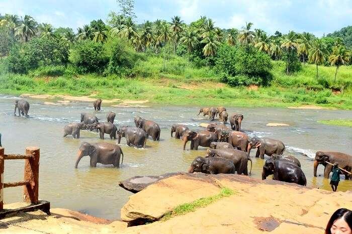 elephants bathing in sri lanka