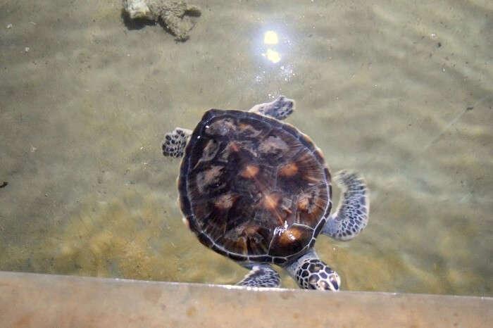 turtles in sri lanka