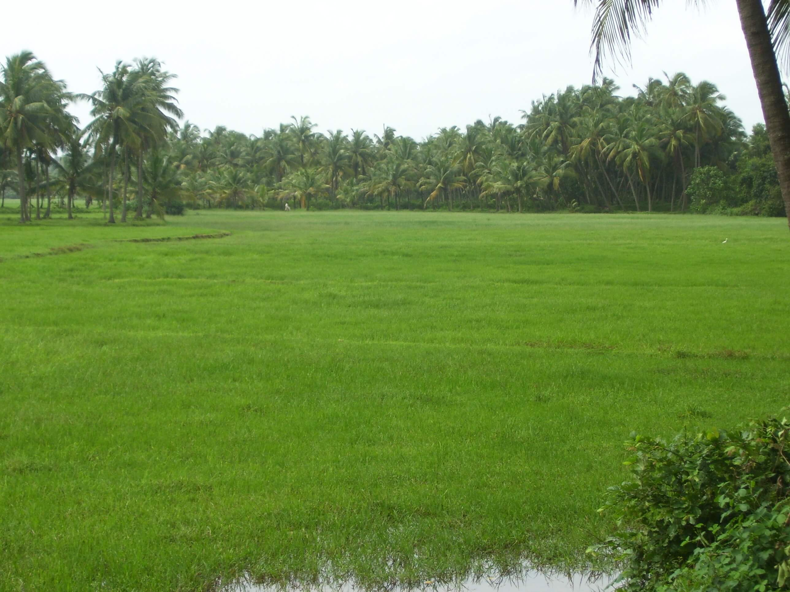 green fields in south india