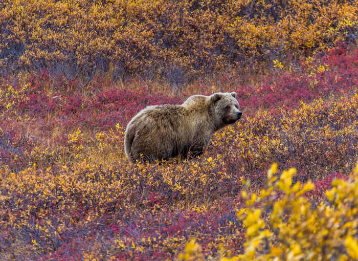 bears in Denali National Park