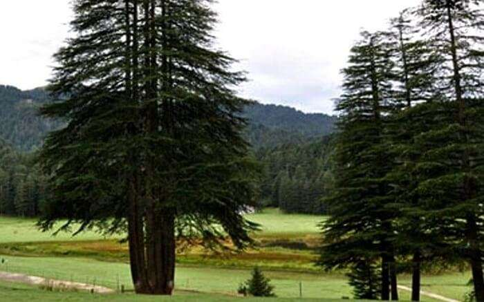 Deodar tree with five shoots