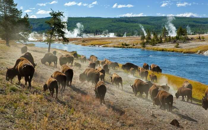 Herd of bisons in Yellowstone National Park