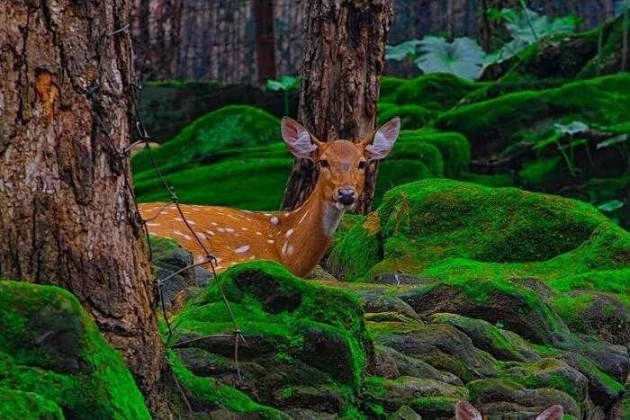 spot deer at Malsi Deer Park