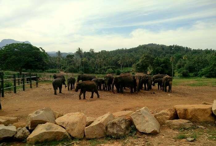 Pinawala elephant orphanage
