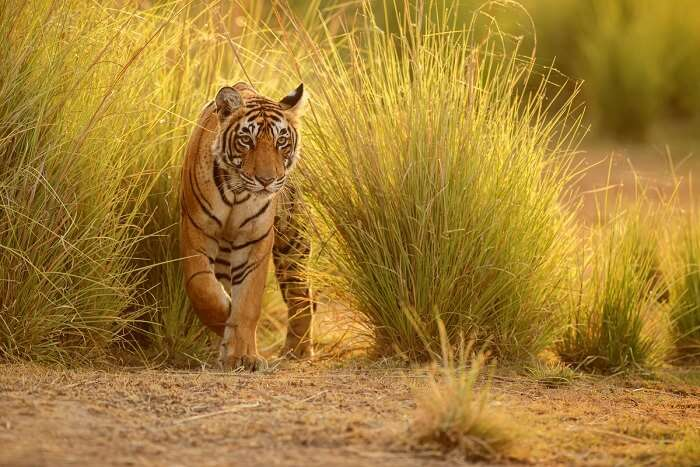 spot bengal tigers at Sariska National Park
