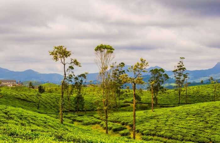 Scenic view of tea plantations