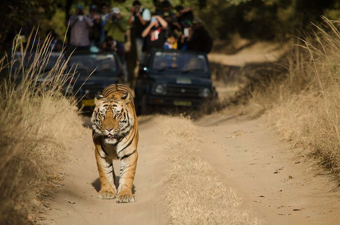 tiger safari Bandhavgarh national park