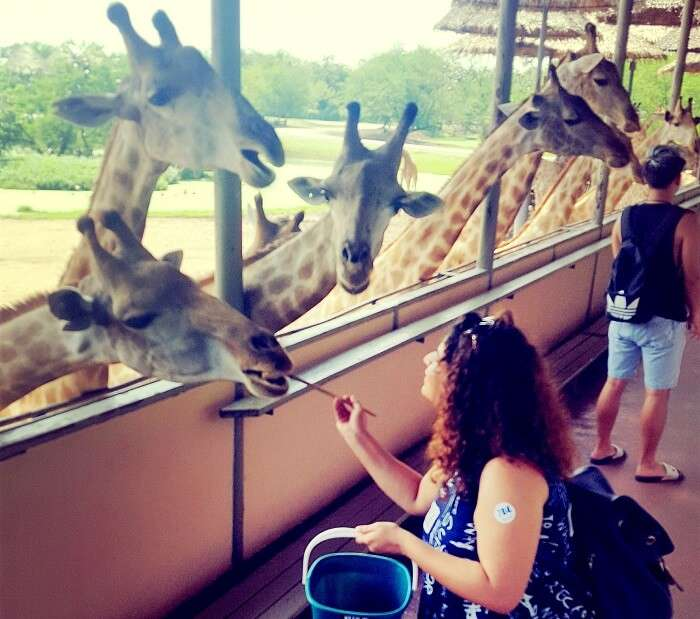 giraffe feeding in thailand