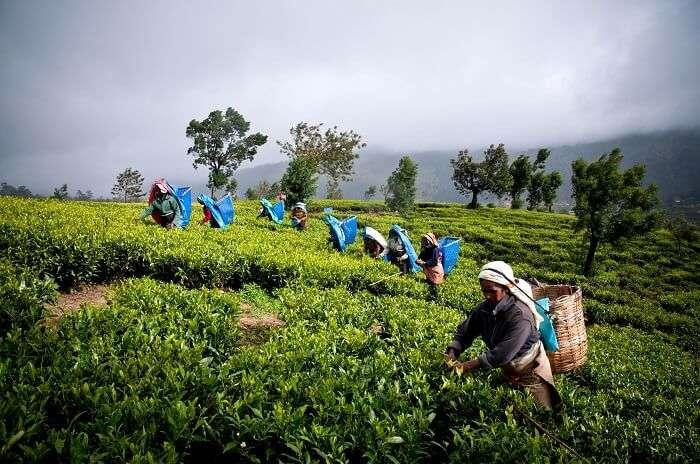 Ceylon Tea Museum, Sri Lanka