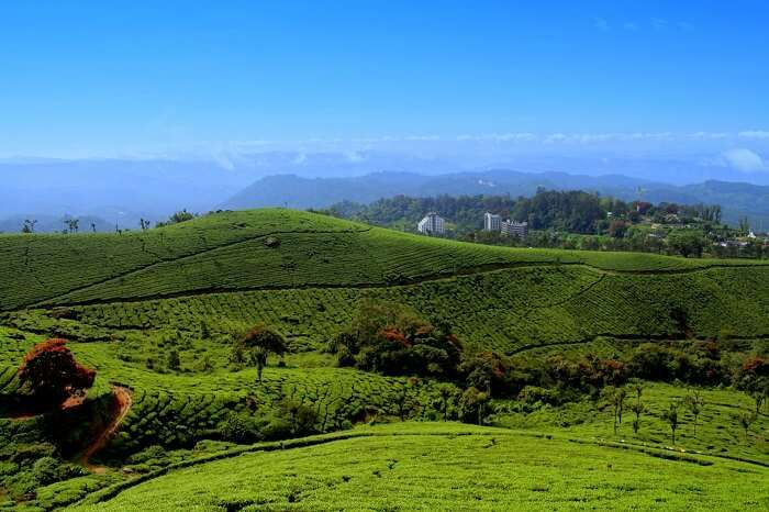 tea gardens in kerala