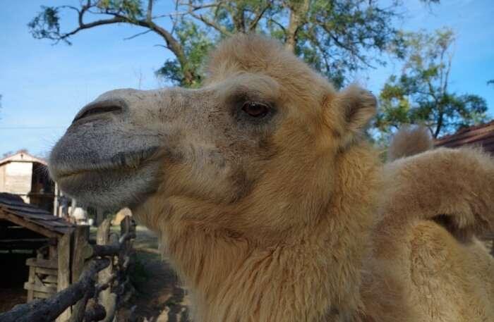 Wilderness Fur Profile Camel Face Animal