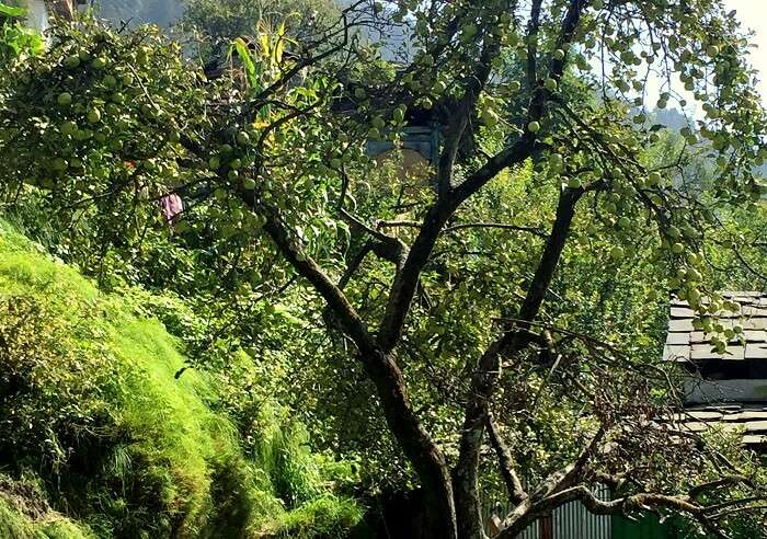 apple trees in himachal