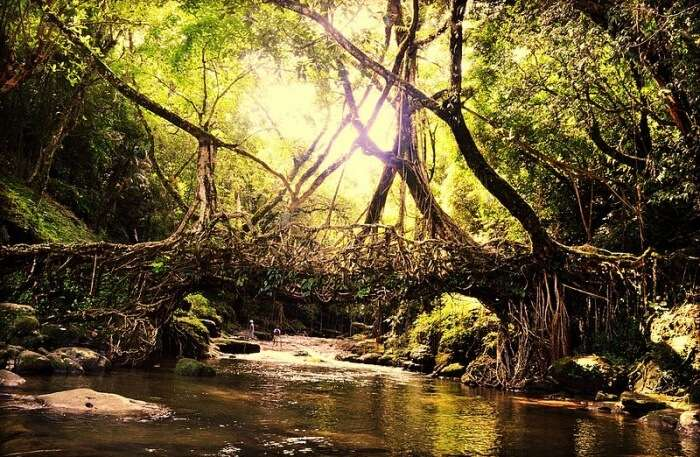 Double Decker living root bridges